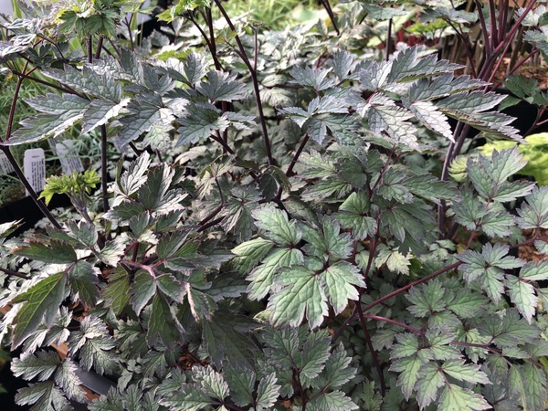 Actaea hybrid (Cimicifuga)