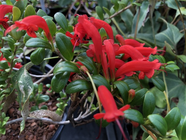 Aeschynanthus buxifolius - Chandler collection