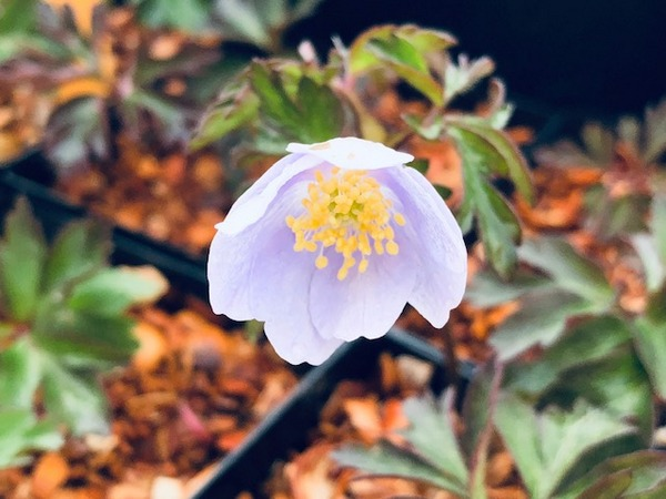 Anemone nemorosa 'Blue Beauty'