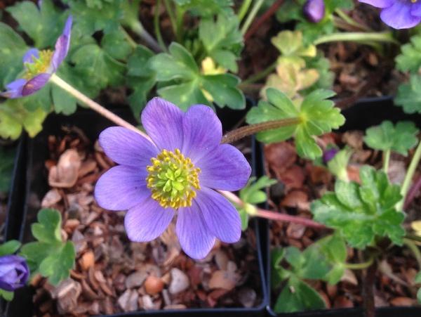 Anemone obtusiloba 'Large Blue'