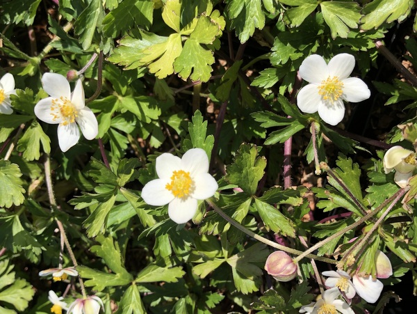 Anemone obtusiloba affinity Clone A