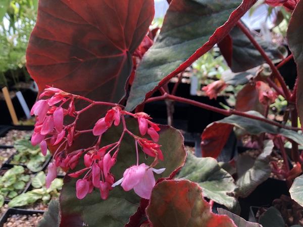 Begonia 'Gene Daniels'