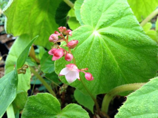 Begonia sp. DJHC 98234