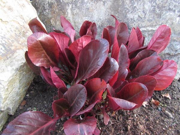 Bergenia purpurascens 'Irish Crimson'