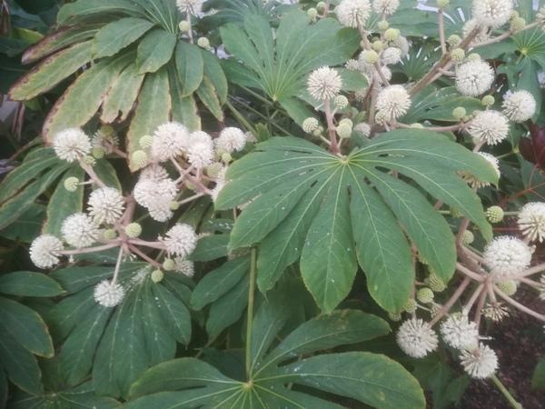 Brassaiopsis cf. bodinieri