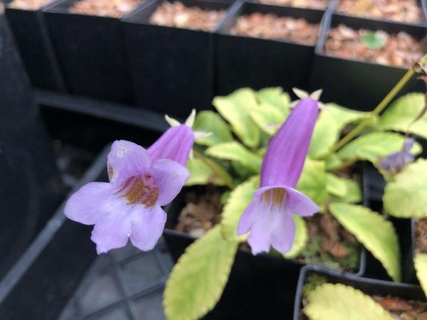 Briggsia longipes