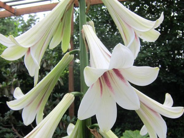 Cardiocrinum giganteum var. yunnanense - Nursery Pick Up Only
