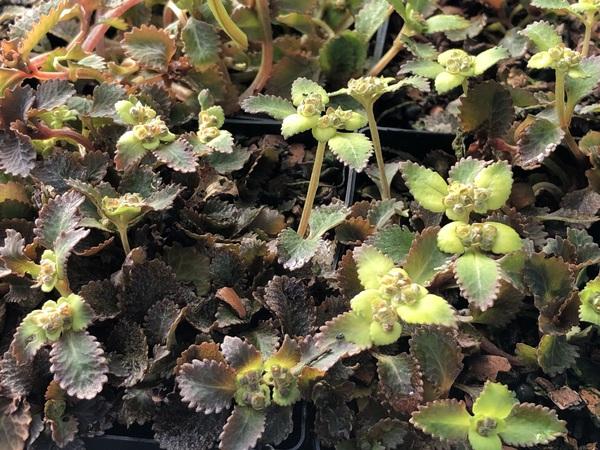 Chrysosplenium macrostemon var. shiobarense