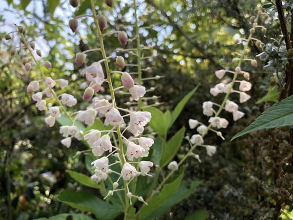 Clethra pringlei x alnifolia
