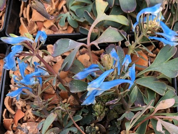 Corydalis 'Hillier Porcelain Blue'