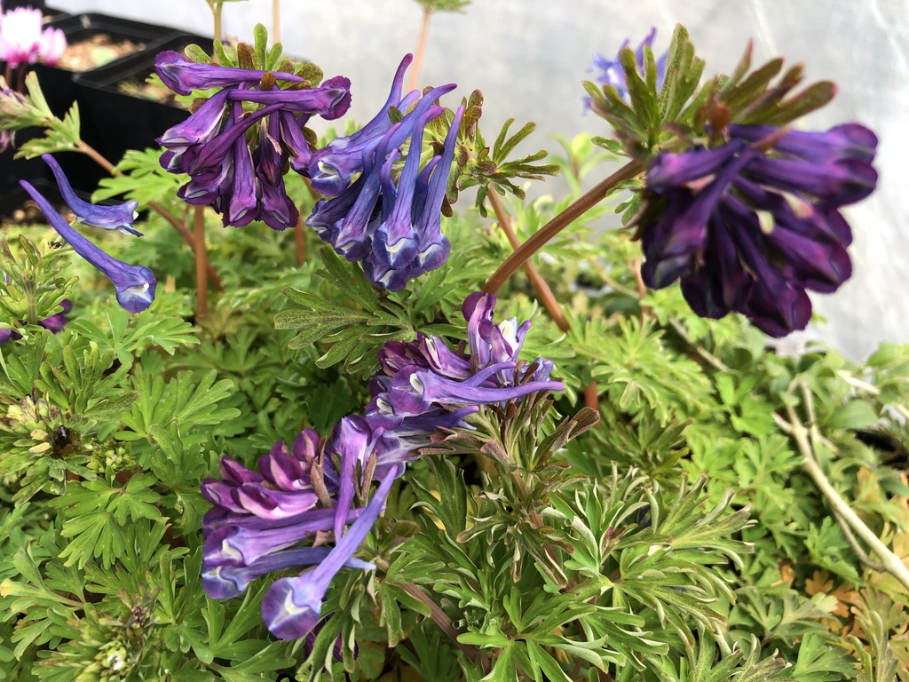 Corydalis 'Korn's Purple'
