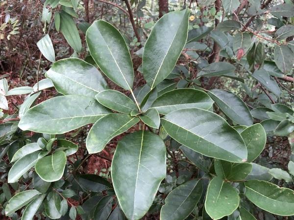 Daphniphyllum paxianum YuGu 073