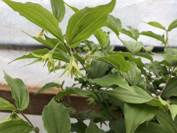 Prosartes lanuginosa syn. Disporum lanuginosum