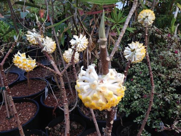 Edgeworthia chrysantha 'Nioli'