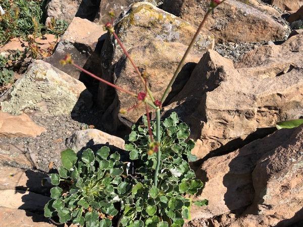 Eriogonum grande var. rubescens