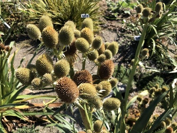 """Eryngium agavifolium """"giant form"""""""