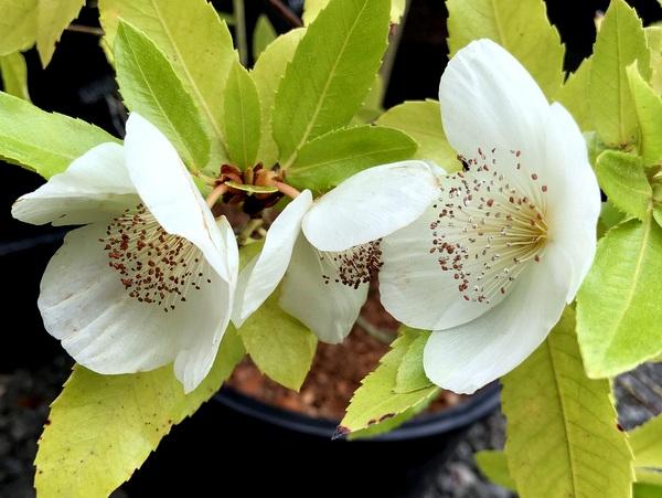 Eucryphia x nymansensis 'Mt Usher'