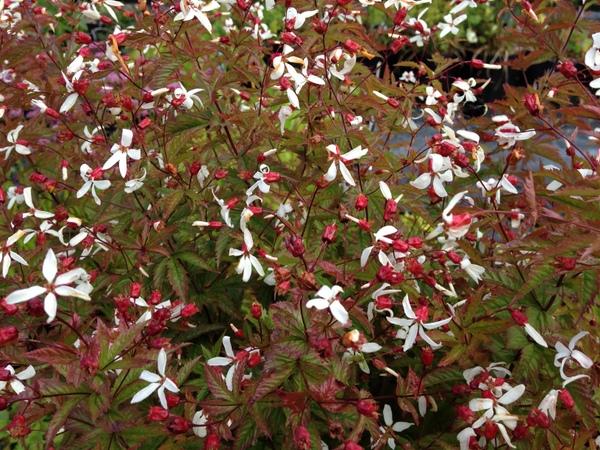 Gillenia stipulata  syn. Porteranthus stipulatus