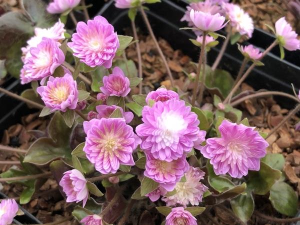 Hepatica nobilis var. japonica 'Wakakusa'