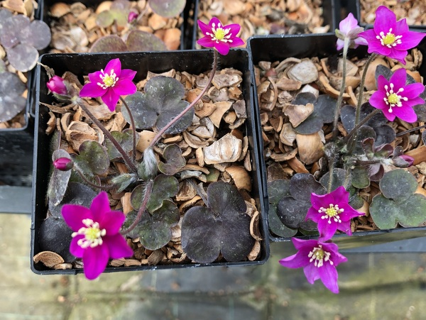Hepatica nobilis 'Bibo Red'