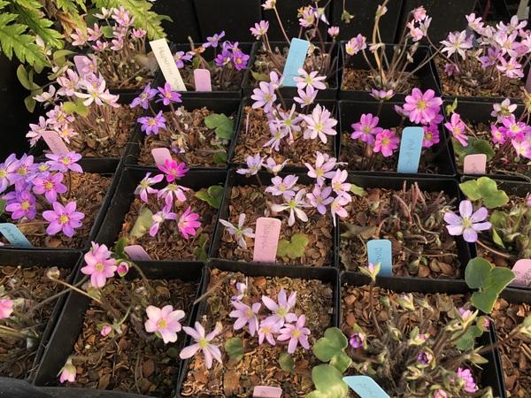 Hepatica nobilis var. japonica - Pink