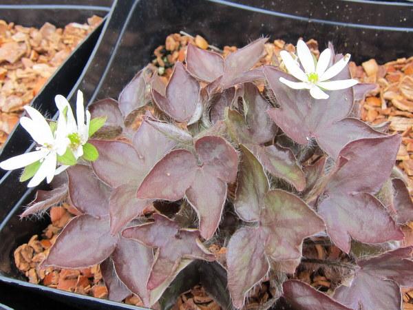 Hepatica acutiloba syn. Anemone acutiloba