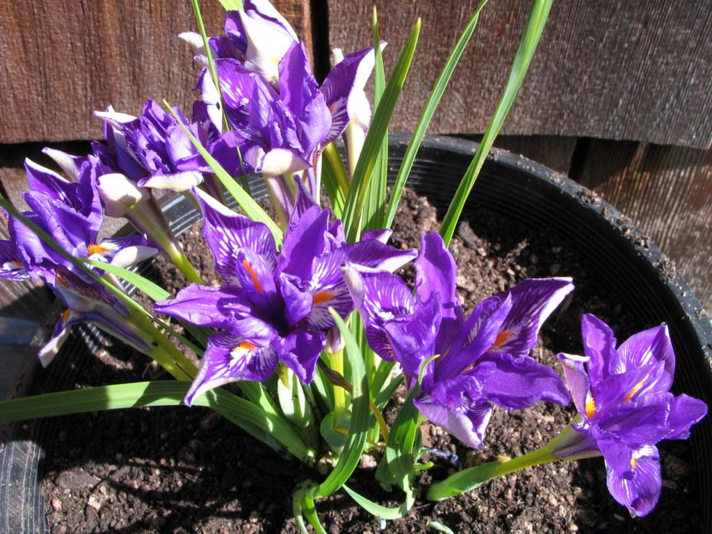 Iris barbatula MD97