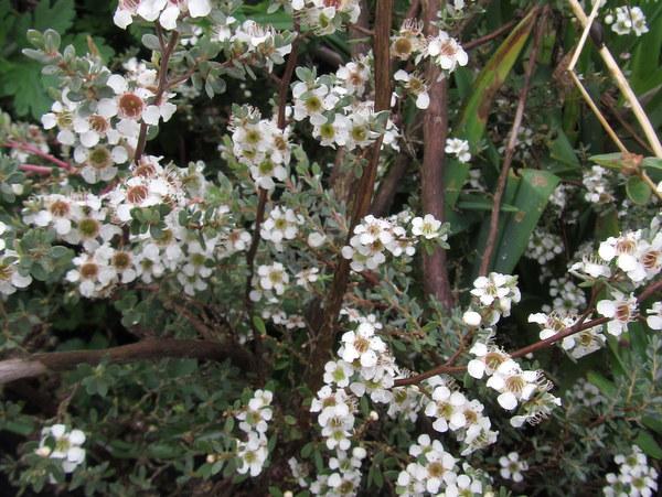 Leptospermum lanigerum 'Silver Form'