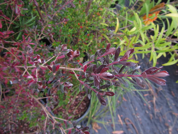 Leptospermum lanigerum Purple Leaf Form