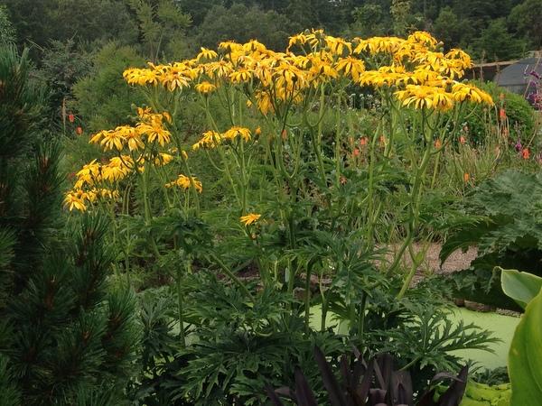 Ligularia japonica 'Rising Sun' BSWJ1293