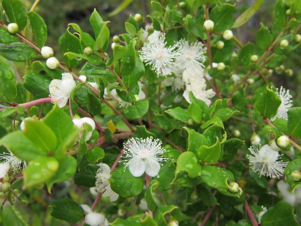 """Luma apiculata """"hardy form"""""""