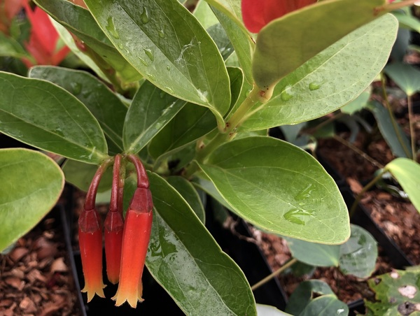Macleania insignis BLM 0628