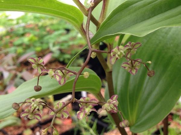 Maianthemum fuscum