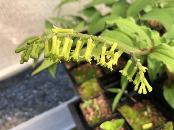 Maianthemum henryi (as szechuanicum)