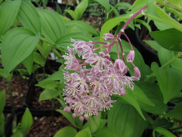 Maianthemum sp. (Smilacina)