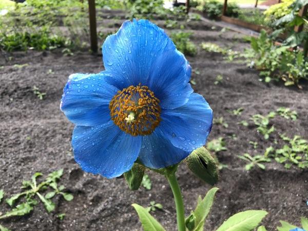 Meconopsis 'Lingholm' Blue Fertile Group