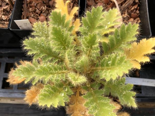 Meconopsis wallichii