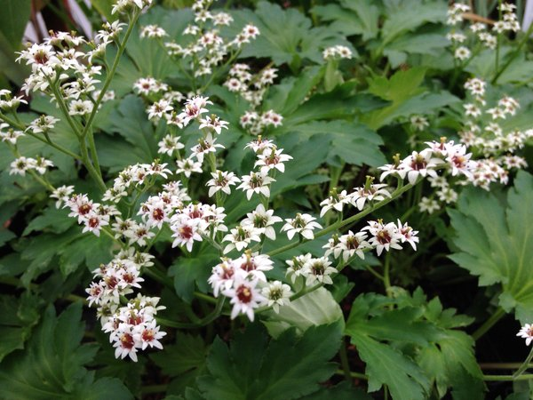 Mukdenia rossii - Quarryhill form