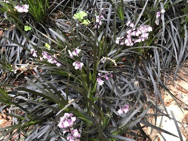 Ophiopogon planiscapus 'Kokuryu'  syn. 'Nigrescens'