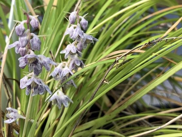 Ophiopogon sp. FMWJ 13118