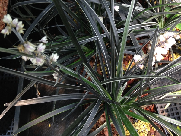 Ophiopogon planiscapus 'Edge of Night'