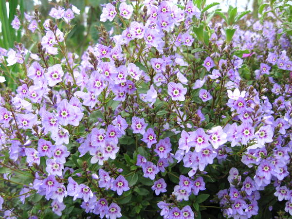 Veronica catarractae 'Delight' (syn. Parahebe)