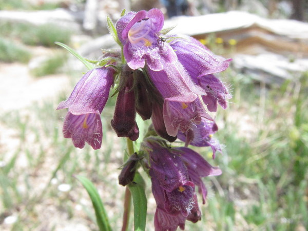 Penstemon whippleanus