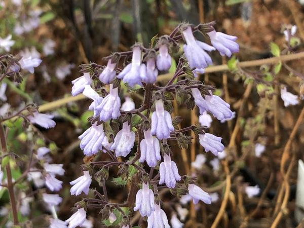 Skapanthus oreophilus MD12-812