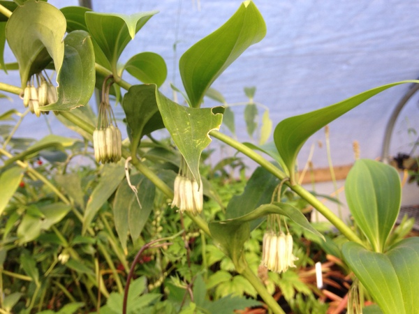 Polygonatum oppositifolium - Nursery Pick Up Only