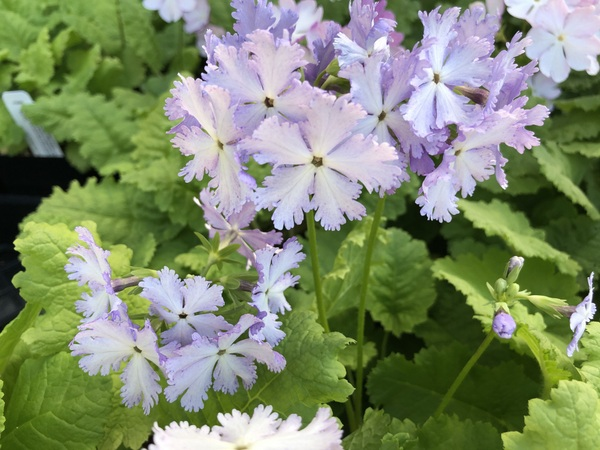 Primula sieboldii 'Ice Princess'