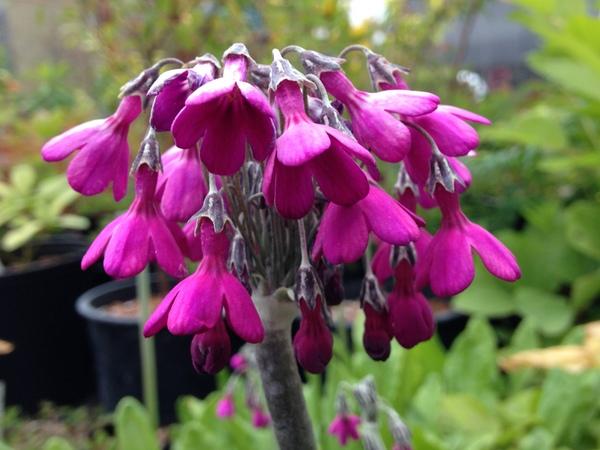 Primula secundiflora