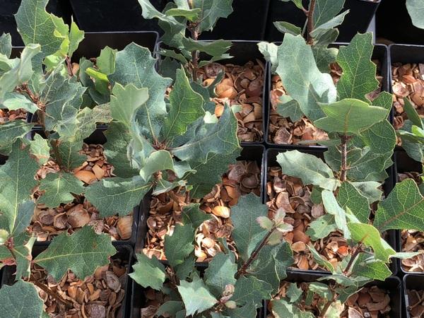 Quercus douglasii IB-1283