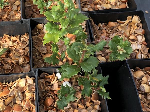 Quercus durata IB-1303