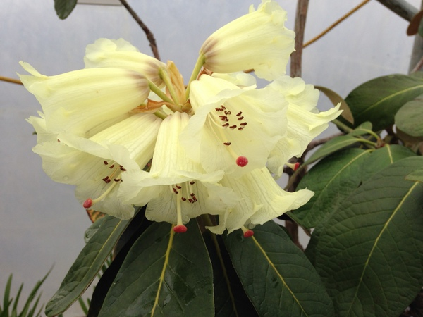 Rhododendron macabeanum NAPE 027 ex.